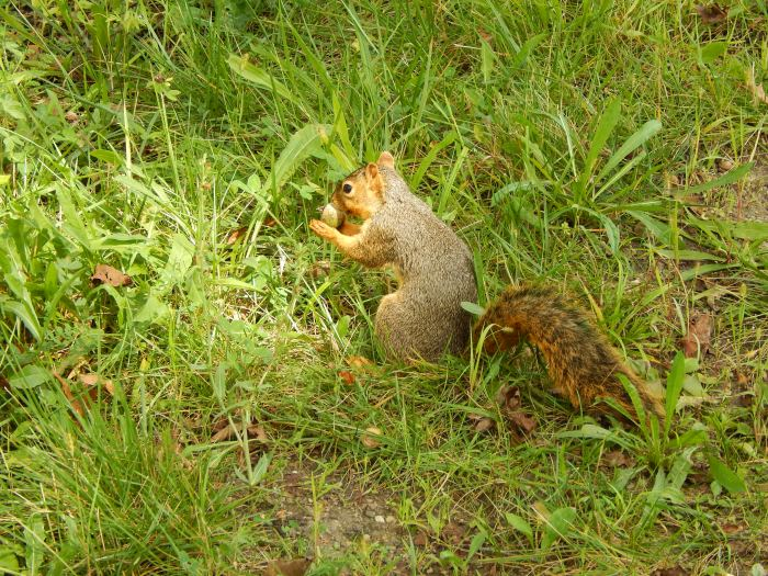 This squirrel wouldn't give me his name-he was busy with a mouthful of acorn.