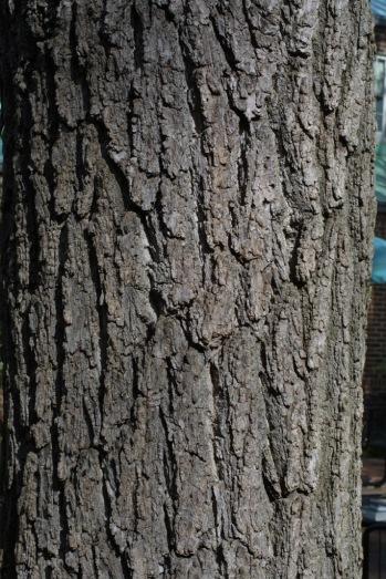 walnut-tree-bark
